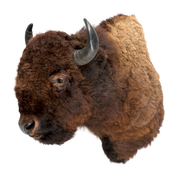 HUGE Boone & Crockett American Bison Wall Mount by North
